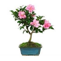 Buy cheap CAMELLIA BONSAI TREE from wholesalers