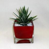 China Aloe in colored glass container wholesale