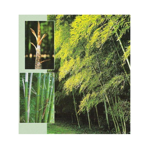 Description Canes Uses Os Bamboo Canes Images View