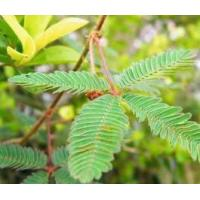 Quality Mimosa Alkaloids for sale