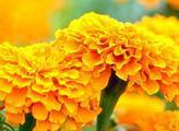 Buy cheap Natural food color Marigold Oleoresin from wholesalers