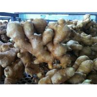 Buy cheap FRESH GINGER from wholesalers