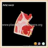 China the section of hip joint torso anatomy model wholesale