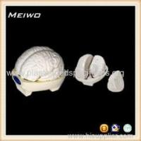 China Model of brain 3 parts human anatomy models on sale