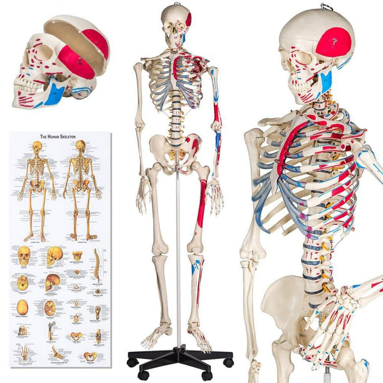 China MTK-02 Popular Life-Size Human Skeleton Model on sale