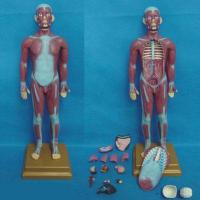 China 85CM Muscle Torso With Visceral Anatomic Model (15 pieces) wholesale
