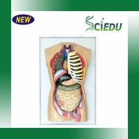 Buy cheap Teaching & Learning Models SC3301-6Human Torso from wholesalers
