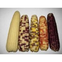 Buy cheap Frozen Colorful Corn from wholesalers