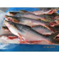 Buy cheap Fisheries Frozen Pangasius Whole Round from wholesalers