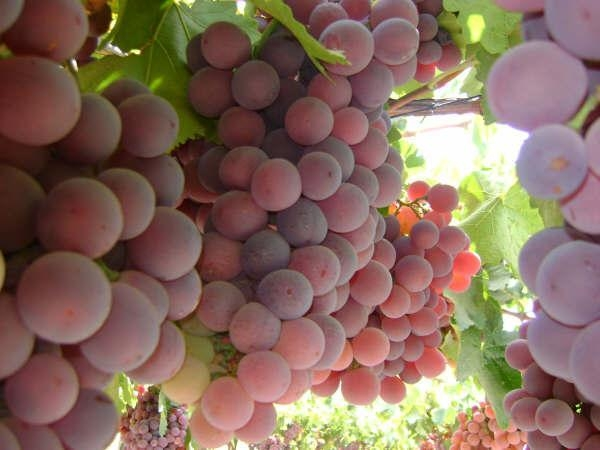 Quality Egyptian Grapes for sale